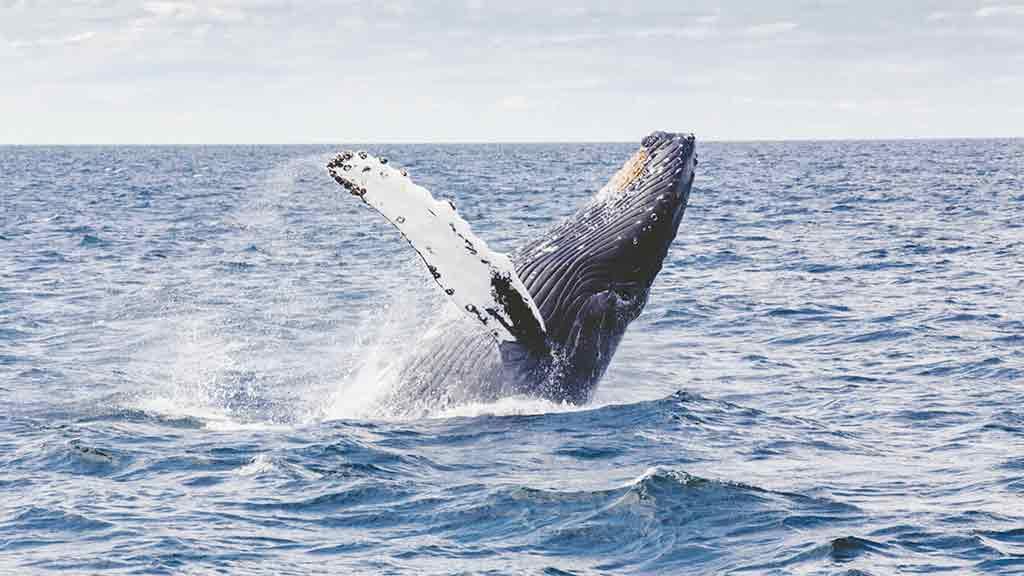 Wal Ozean Sprung aus dem Wasser