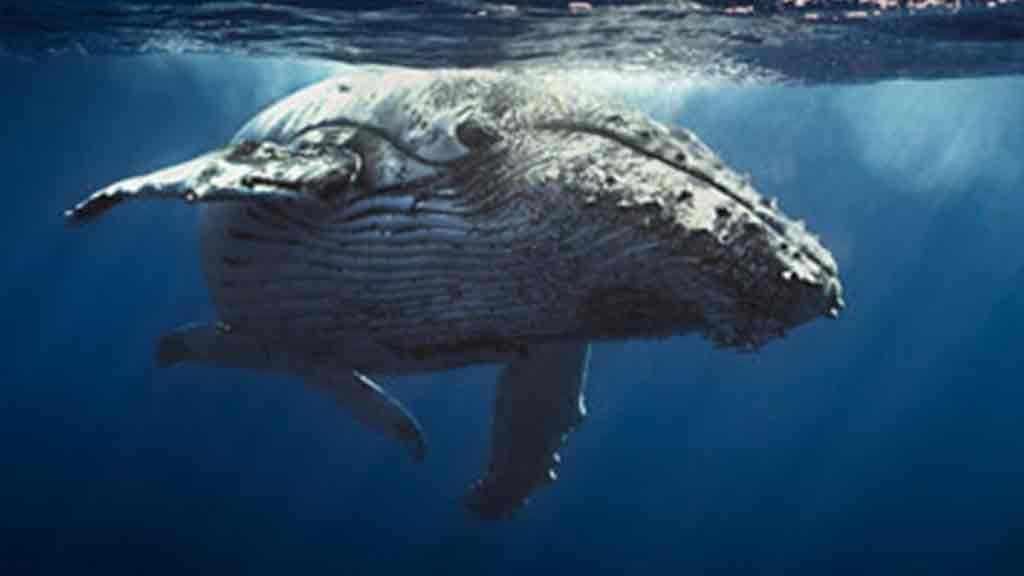 Wal Meer schwimmen unter Wasser Tierschutz